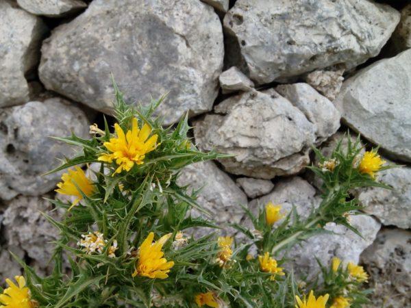 fiore di scardaccione