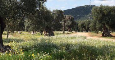 Ulivi monumentali di Masseria Conchia